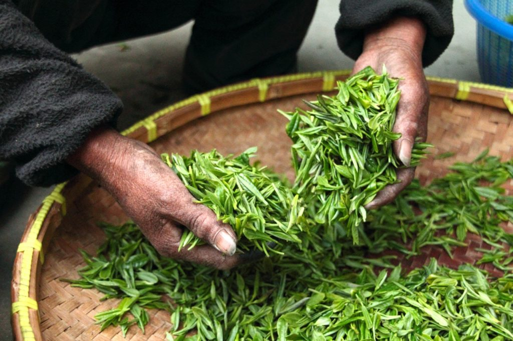 handpicked tea leaves