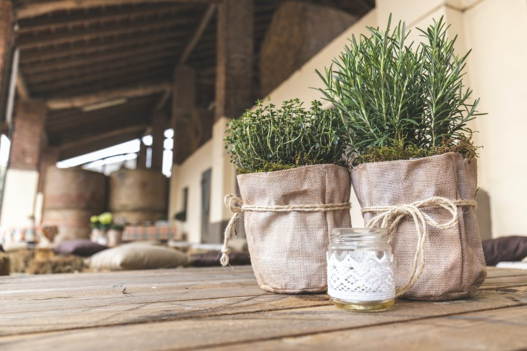 Rosemary Herb in pots