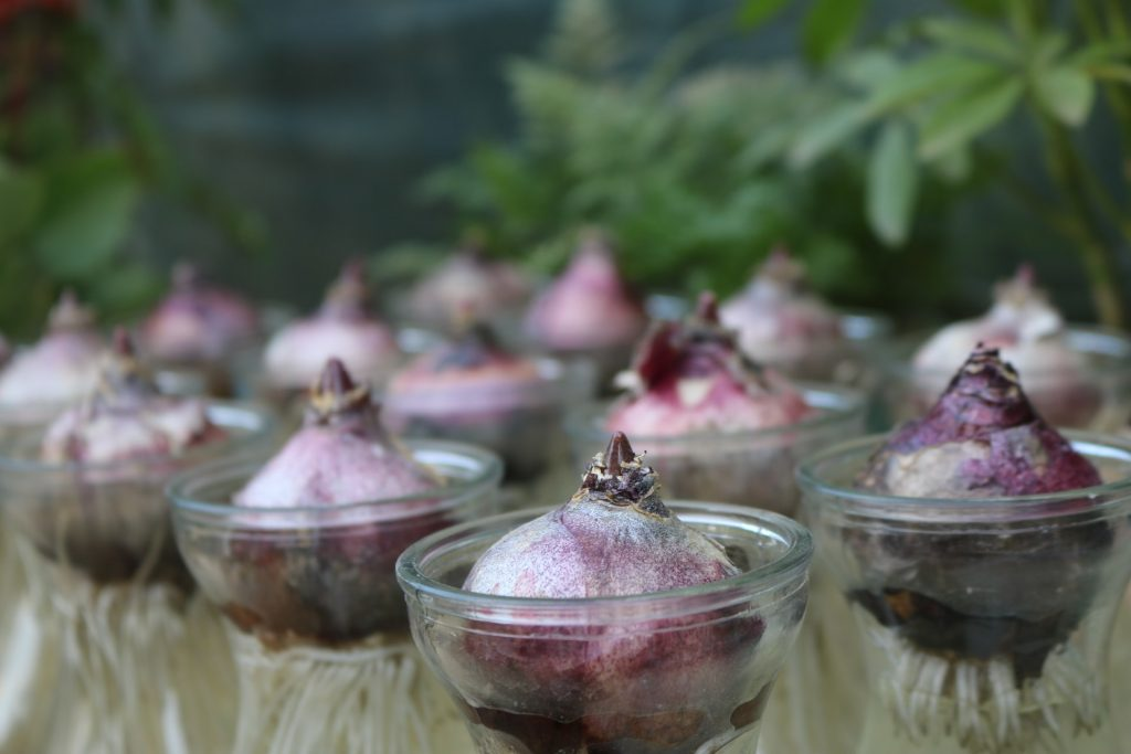 onion bulbs regrowing in cups of water